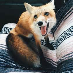 meet juniper the pet fox who s basically an orange dog