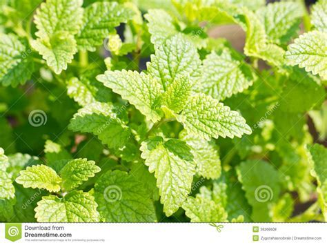 Peppermint Plant. Royalty Free Stock Photos   Image: 36266608
