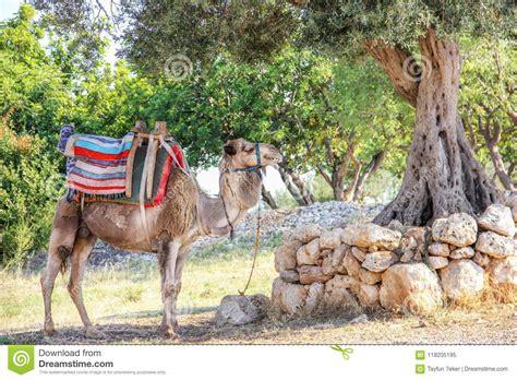 camel resting   shade  stock image image  fiber camelus