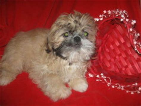 shih tzu puppies for sale ta shih tzu sale ireland shih tzu puppies buy buy shih tzu breeders shih tzu dogs