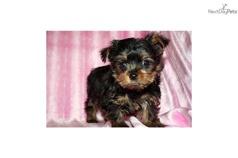 buy tiny teacup yorkie yorkie puppy for sale in california breeds picture