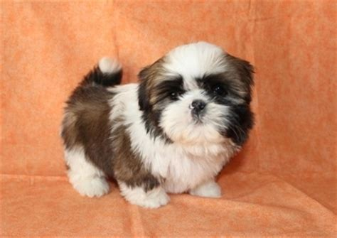 shih tzu baby shih tzu images bilbo s baby pictures wallpaper and background photos 35602052
