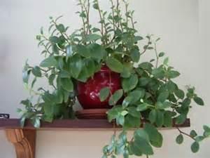 plante retombante identification d une plante