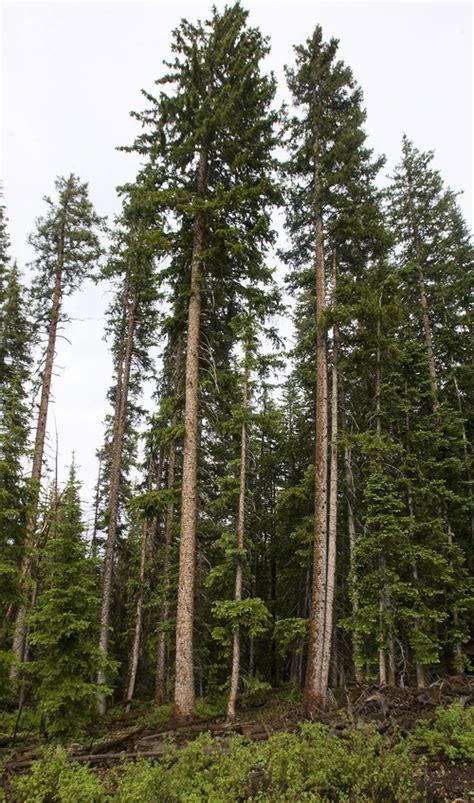 utah tree permits forest service utah s spruce forests are vanishing the salt lake tribune
