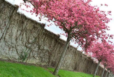 Arbres Fleurs Roses photographie d un arbre couvert de fleurs roses