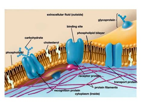 cell membrane  covers  outer boundaries