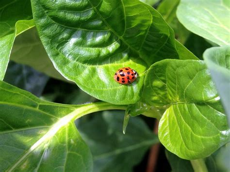 how to find ladybugs in your backyard 100 where to find ladybugs in your backyard