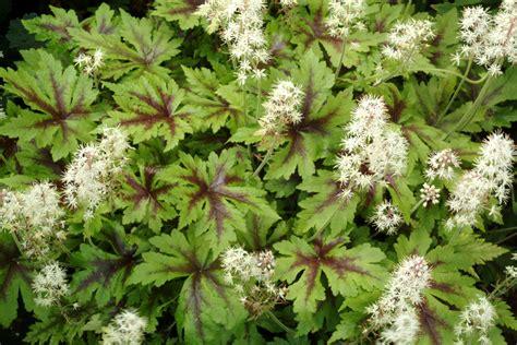 foamflower sugar and spice garden housecalls