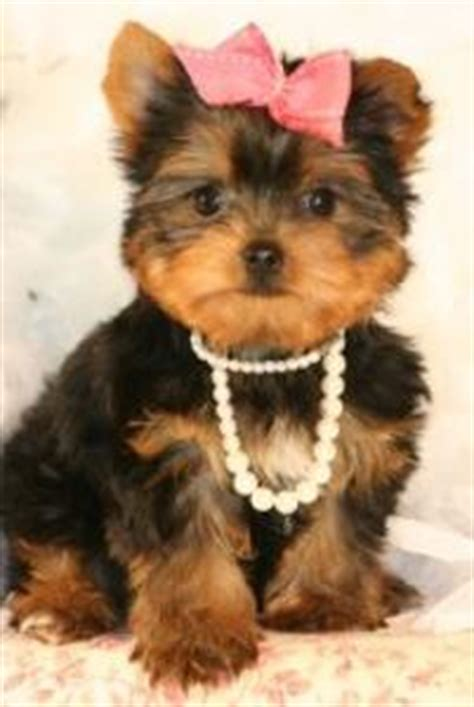 richardson: cute baby yorkshire terrier puppies for re homing