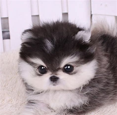 25 Best Ideas About Teacup Pomeranian Husky On Pomsky Puppies Pomeranian