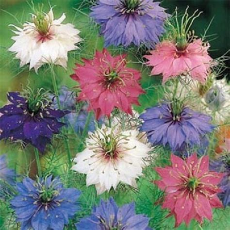 nigella seeds persian jewels mix  seeds ebay