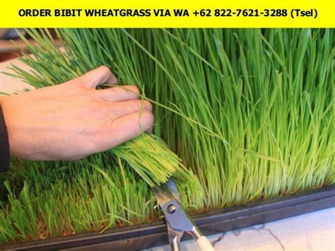 Bibit Wheatgrass wa 62 822 7621 3288 tsel bibit wheatgrass