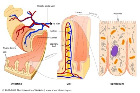 3 carbohydrates absorbed by epithelial cell products of digestion and the absorption and assimilation