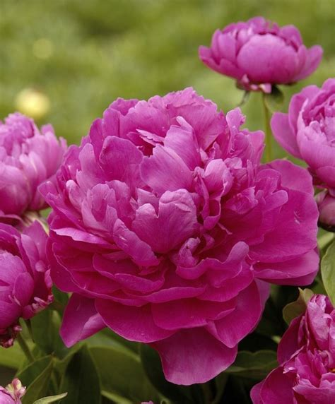 Crop Flower Pink 329 best peony images on beautiful flowers peonies and pretty flowers