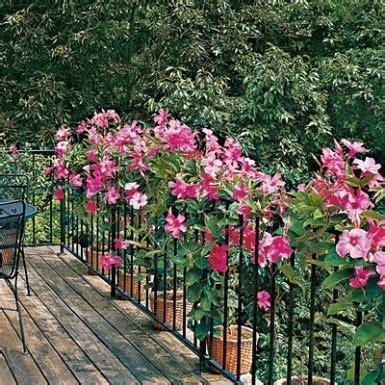 Bunga Rambat by 5 Tanaman Rambat Hias Yang Berbunga Terus