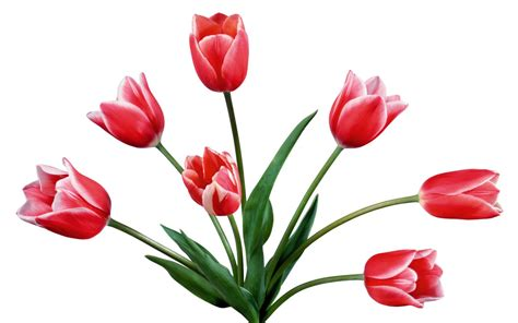 coloring pages sketch of tulip flower maxvision