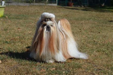shih tzu ta chien elevage du lac de cupidon eleveur de chiens shih tzu