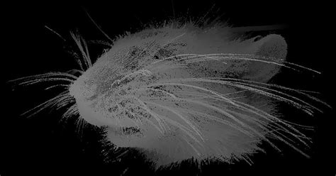 rat whiskers shed light on how neurons communicate touch