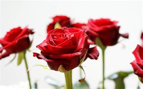 imagenes rosas hd rosas rojas hd im 225 genes y fotos