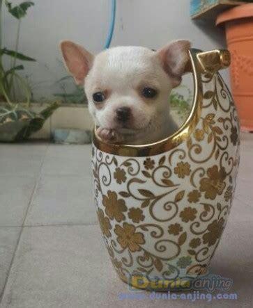 Anakan Arwana Bandung dunia anjing jual anjing chihuahua jual cepat anakan chihuahua jantan bandung