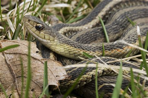 how to avoid snakes in backyard how to prevent snakes on your property terminix
