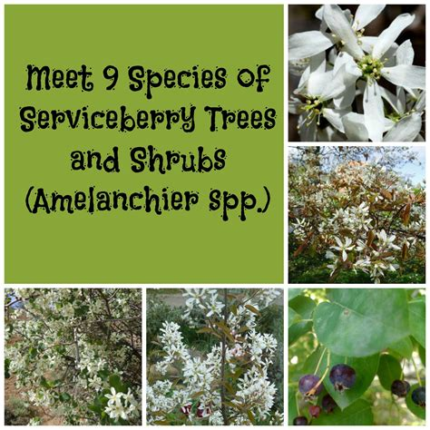 meet  species  serviceberry trees  shrubs