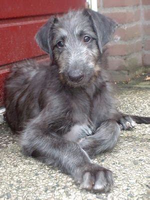 scottish deerhound puppies the 25 best small labradoodle ideas on cutest small dogs cutest small