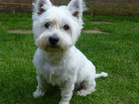 west highland terrier puppies for sale near me west highland terriers for sale picture and images