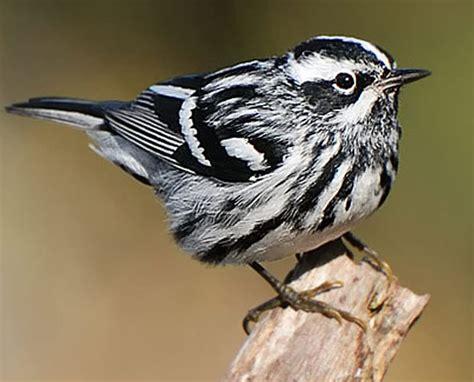 White Bird Black Bird black and white bird species www pixshark images