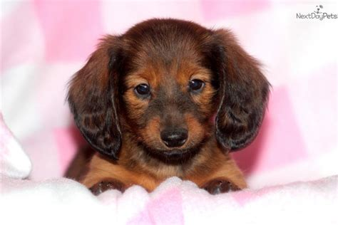free dachshund puppies in free dachshund puppies for sale breeds picture