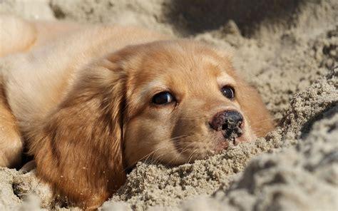 bald golden retriever golden retriever welpe auf dem sand liegen hintergrundbilder herunterladen gro 223 en