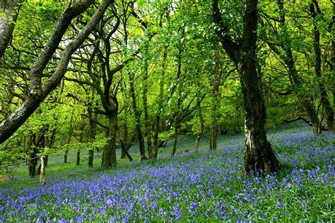 bluebell forest may 2011