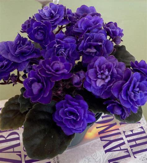 como cuidar de violetas africanas como cuidar de violetas africanas