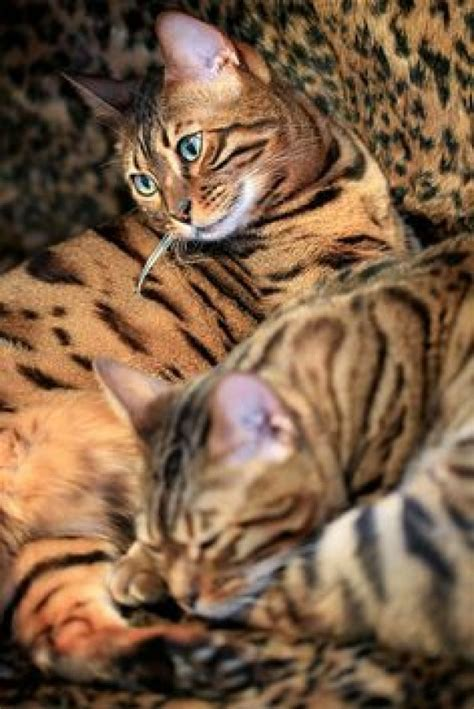 beautiful bengal kittens cats kittens for rehoming silver bengal kittens for rehoming usa las vegas 300