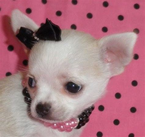 blue applehead chihuahua puppies for sale chihuahua puppies for sale chihuahua breeders applehead chihuahua puppies for sale