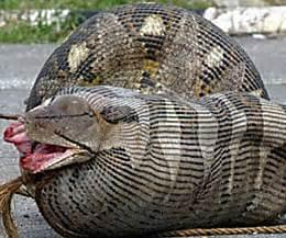 snake eating woman alive | www.pixshark.com images