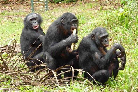 Bonobos   The Life of Animals