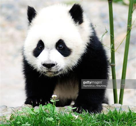 images of panda bears baby panda china stock photo getty images