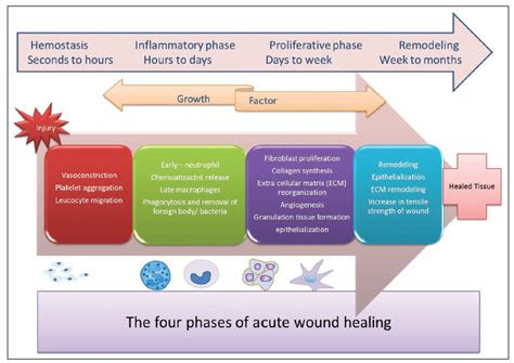current concepts   physiology  adult wound healing