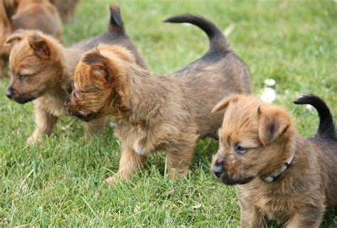 australian terrier puppies australian terrier breed information and images k9rl