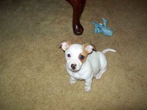 chipit puppies chipit chihuahua american pit bull terrier mix info and pictures