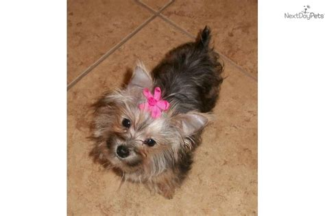 teacup yorkie breeders in arkansas terrier yorkie puppy for sale near fayetteville arkansas 1b50aa7f f131