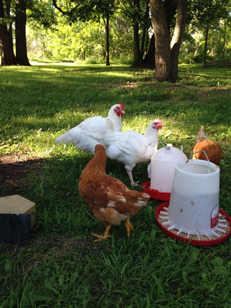backyard laying chickens help do broiler white lay eggs backyard chickens