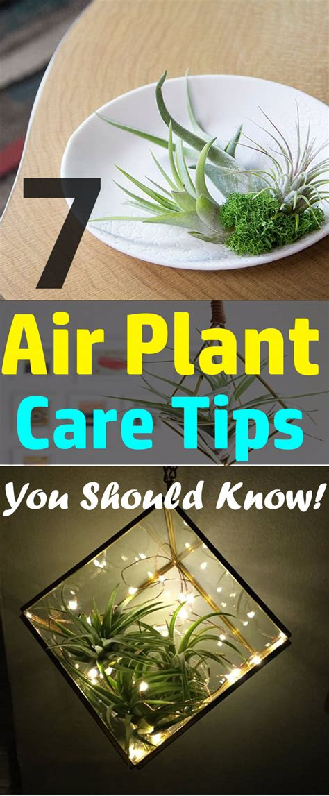7 Air Plant Care Tips You Should Know!   Balcony Garden Web