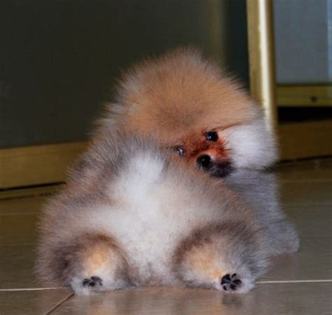 teacup pomeranian boo for sale prestige pomeranians pet and animal service in rossendale uk