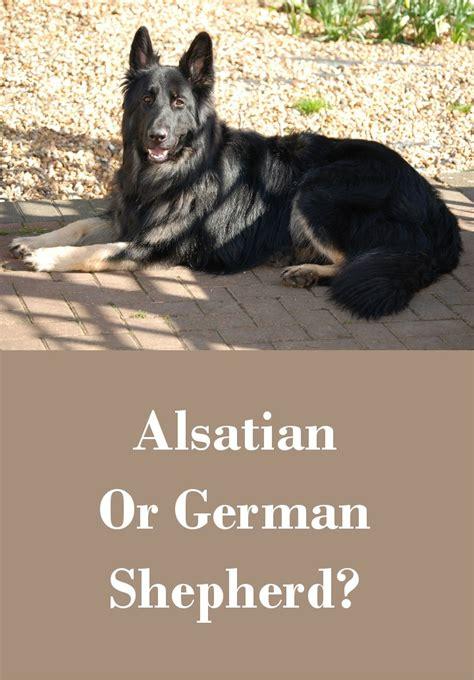 Do Alsatians Shed by German Shepherd Ears Breeds Picture