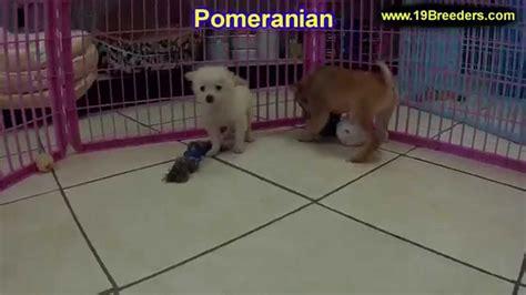 pomeranian puppies for sale in alaska pomeranian puppies dogs for sale in juneau borough alaska ak 19breeders