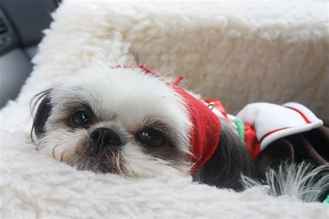 can a shih tzu live outside 21 reasons shih tzus are actually the worst dogs to live with