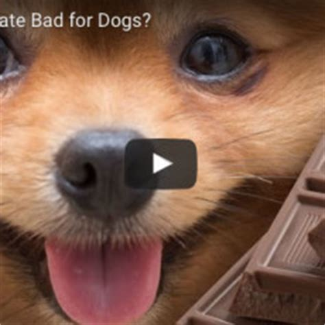 why chocolate is bad for dogs why is chocolate so bad for dogs