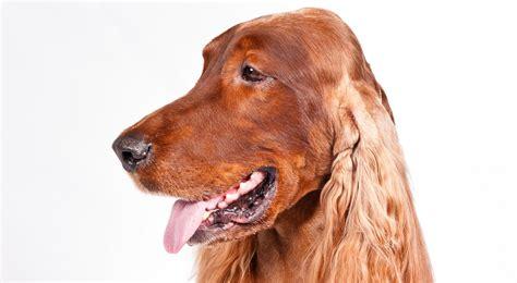 american setter dog irish setter dog breed information american kennel club
